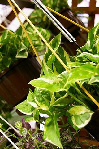 iPhone Wallpaper Green plants hanging up, pothos