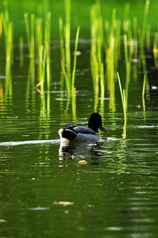 iPhone Wallpaper Lake, reed, duck, water