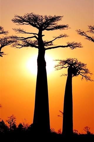 Fondos De Pantalla Muchos Baobabs Puesta Del Sol Morondava