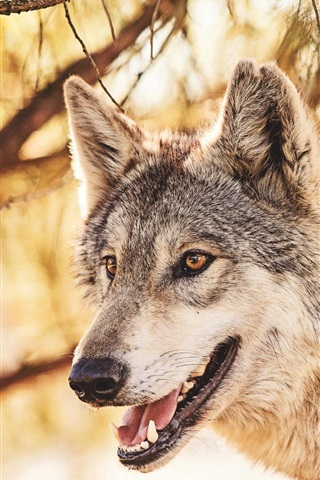 iPhone Wallpaper Predator, wolf in the forest, animals close-up