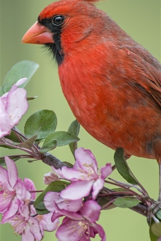 iPhone Wallpaper Red cardinal bird, Apple tree, flowers blossom, spring