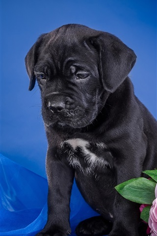 iPhone Wallpaper Black puppy, flowers, blue background
