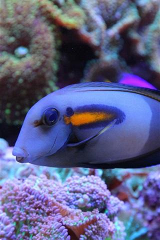 iPhone Wallpaper Blue fish, underwater, sea, coral reef
