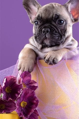 iPhone Wallpaper French puppy, flowers
