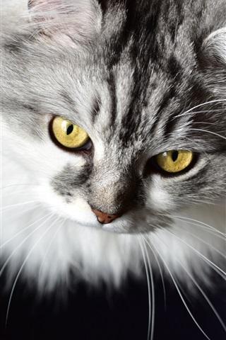 iPhone Wallpaper Furry kitten, yellow eyes, black background