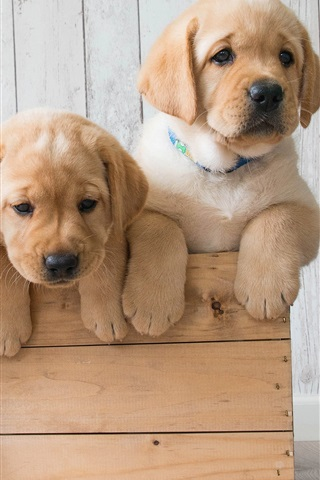 iPhone Wallpaper Golden Retriever, three cute puppies