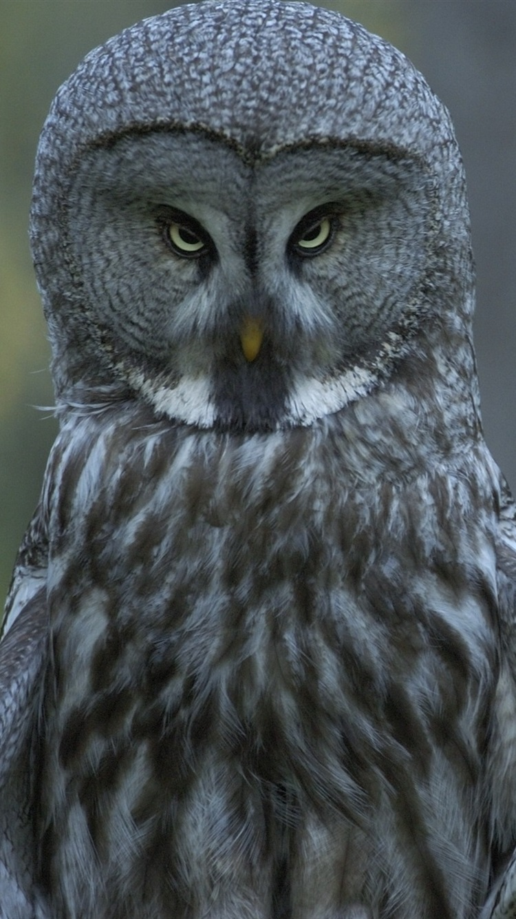Great Gray Owl In The Forest 750x1334 Iphone 8766s