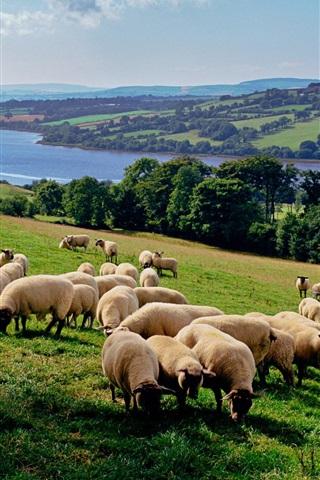 iPhone Wallpaper Many sheeps, countryside farm