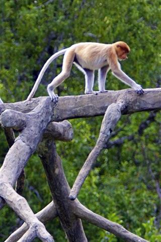 iPhone Wallpaper Proboscis Monkeys, Sabah, Borneo, Malaysia