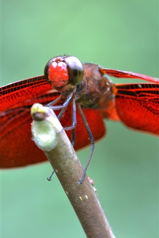 iPhone Wallpaper Red wings dragonfly, insect close-up