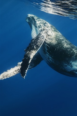 iPhone Wallpaper Sea animals, whale, ocean, underwater