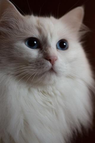 iPhone Wallpaper White cat front view, bokeh