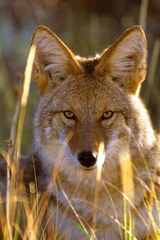 iPhone Wallpaper Wolf in the grass, Black Canyon, Gunnison National Park, USA