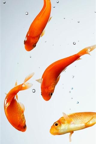 iPhone Wallpaper Aquarium, goldfish, water, bubbles