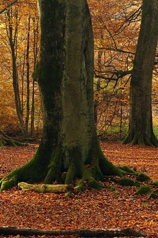 iPhone Wallpaper Beech trees, forest, autumn