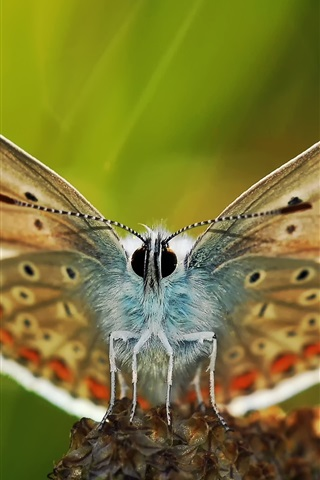 iPhone Wallpaper Butterfly macro photography, wings