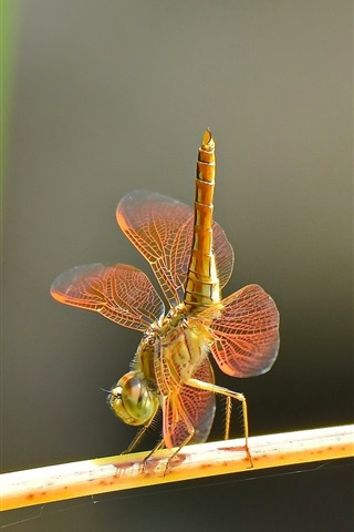 iPhone Wallpaper Dragonflies dance, couple, insect close-up