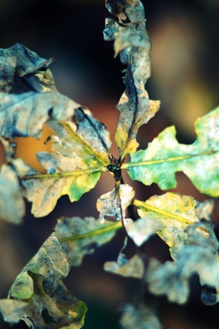 iPhone Wallpaper Dry leaf macro photography, autumn, bokeh