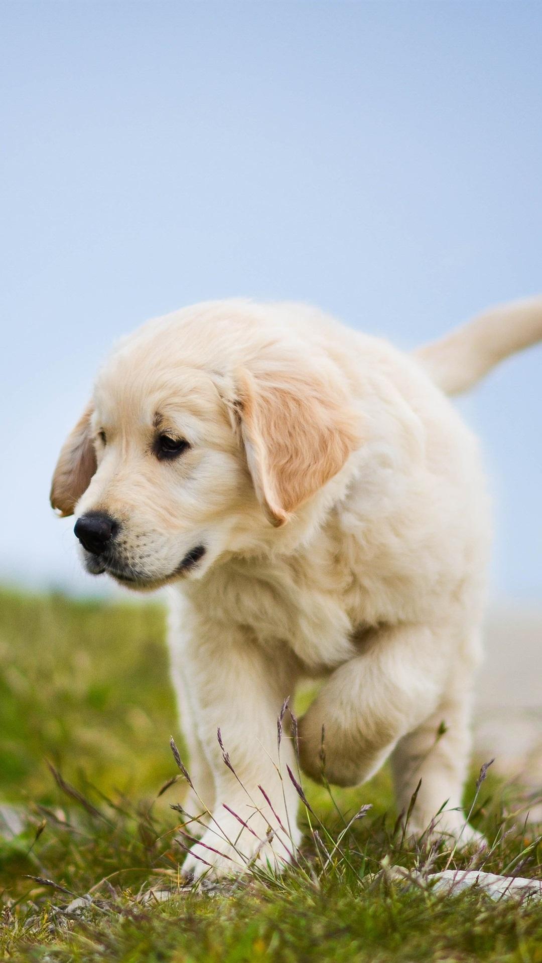 ゴールデンレトリバー かわいい犬 子犬 草 1080x19 Iphone 8 7 6 6s Plus 壁紙 背景 画像