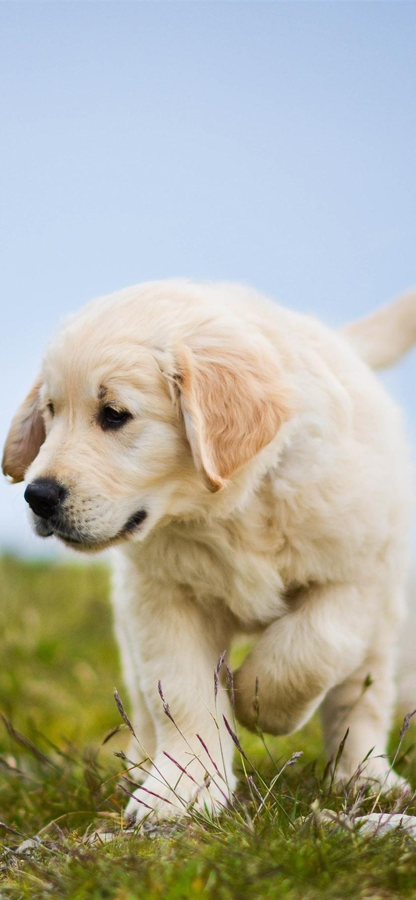 Golden Retriever Cute Dog Puppy Grass 1080x1920 Iphone 8 7 6 6s