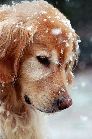 iPhone Wallpaper Golden Retriever in the winter, cute dog, snow