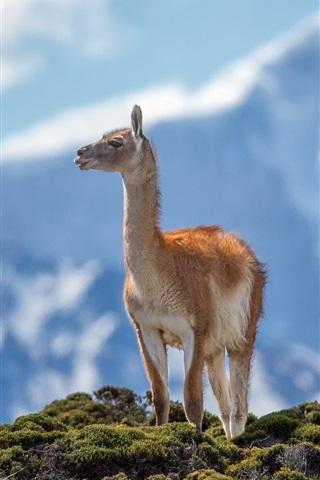 iPhone Wallpaper Lama guanicoe, animals close-up