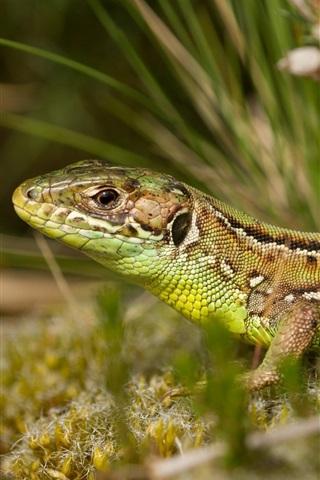 iPhone Wallpaper Lizard close-up, grass, bokeh