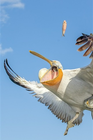 iPhone Wallpaper Pelican catch fish, wings, sky