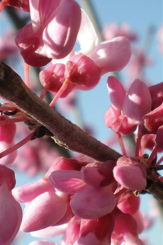 iPhone Wallpaper Pink flowers, twigs, spring