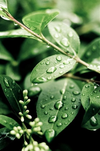 iPhone Wallpaper Plants, after rain, green leaves, water drops