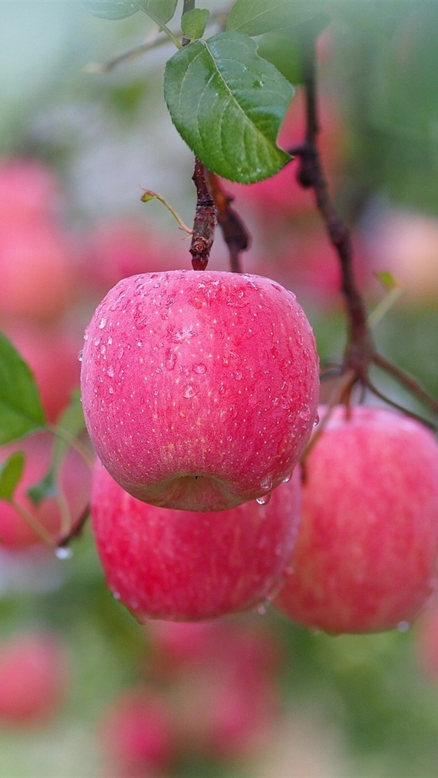Red Apples After Rain Tree Twigs Water Drops 750x1334
