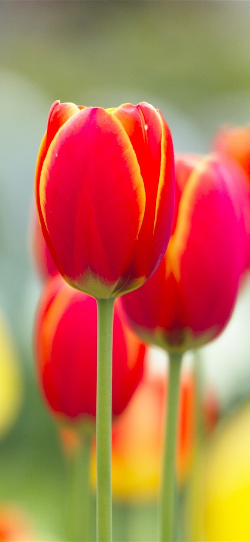 Wallpaper Red Tulip Flowers Macro Photography Blurry
