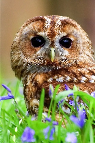 iPhone Wallpaper Tawny owl, bird in the blue flowers