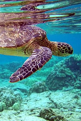 iPhone Wallpaper Turtle swim, coral, underwater