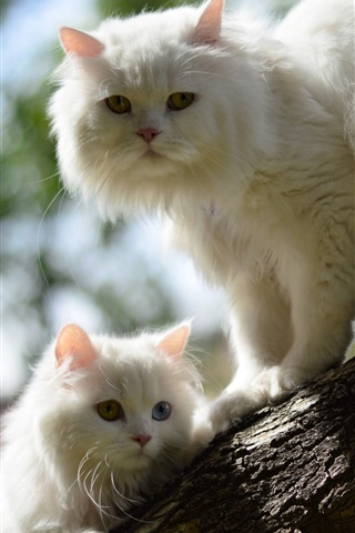 iPhone Wallpaper Two white cats in tree