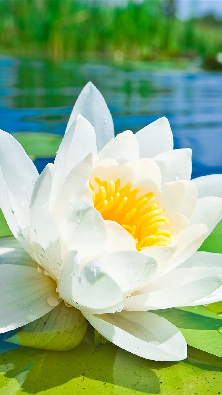 Wallpaper White Lotus Flower Macro Photography Green