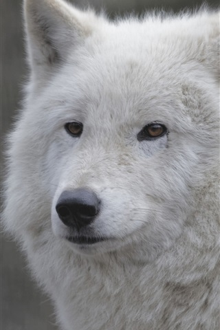 iPhone Wallpaper White wolf close-up, face, portrait