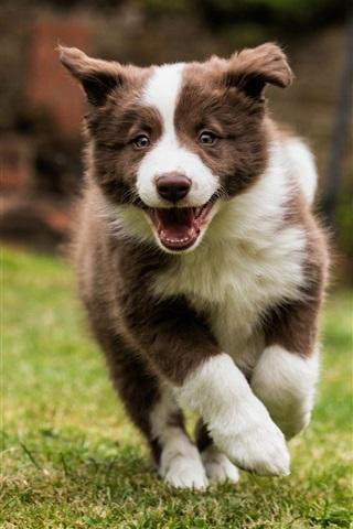 iPhone Wallpaper Border collie, dog walking, grass