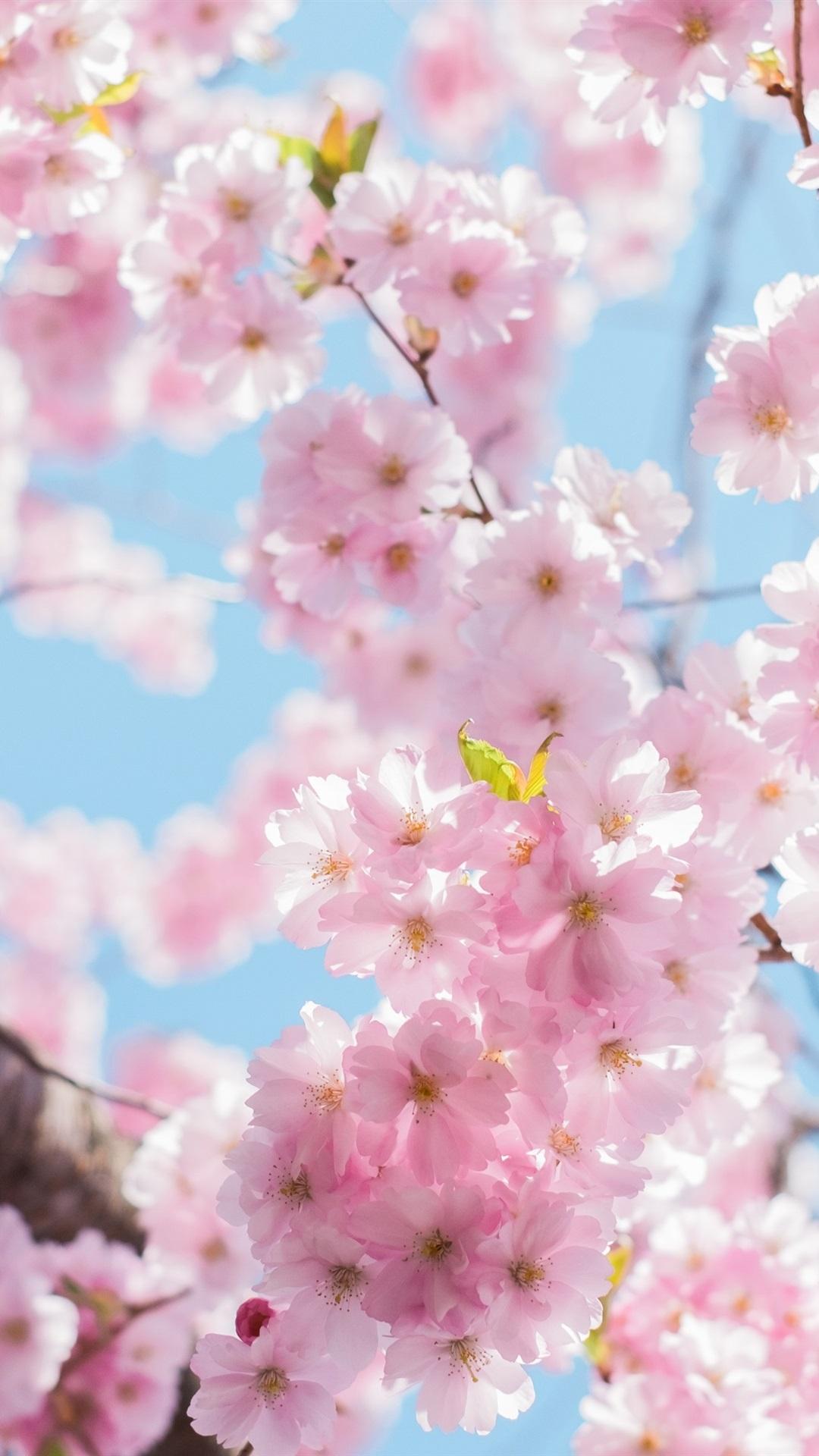 桜の花の花 木 小枝 春 1080x1920 Iphone 8 7 6 6s Plus 壁紙 背景