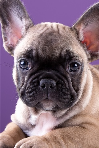 iPhone Wallpaper Cute bulldog