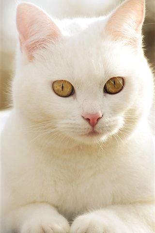 iPhone Wallpaper Cute white cat front view