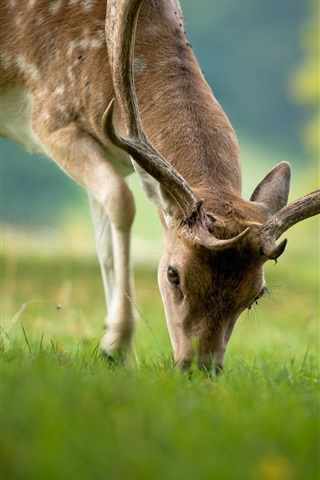 iPhone Wallpaper Deer eating grass, summer, bokeh