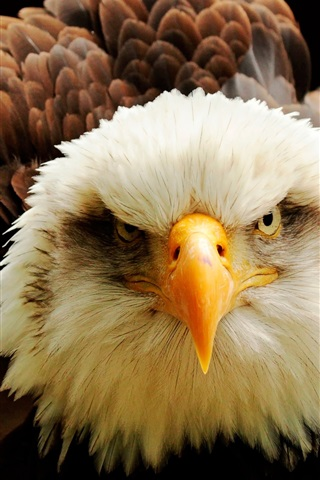 iPhone Wallpaper Eagle front view, eyes, beak, feathers
