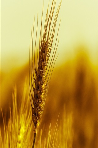 iPhone Wallpaper Gold wheat macro photography