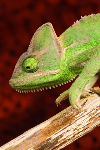 iPhone Wallpaper Green chameleon, animals photography