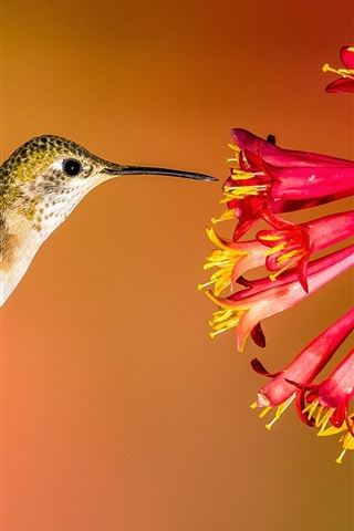 iPhone Wallpaper Hummingbird flying, red flowers