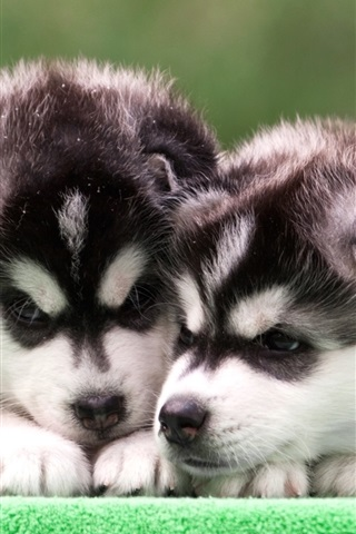 iPhone Wallpaper Husky puppies, two dogs