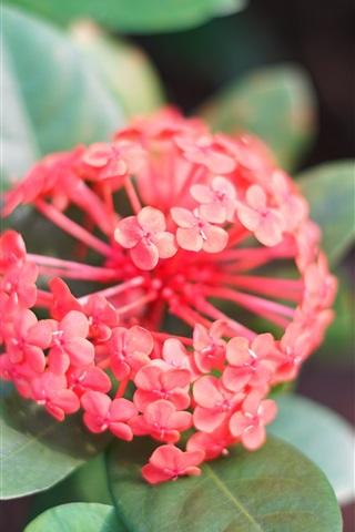 iPhone Wallpaper Pink Ixora, leafy