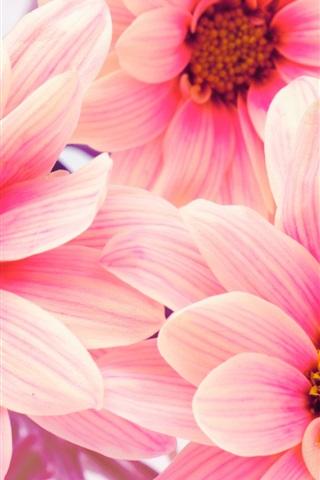 iPhone Wallpaper Pink flowers, chrysanthemums