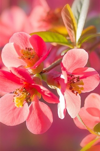 iPhone Wallpaper Pink quince flowers macro photography